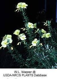 Image of Oenothera glazioviana