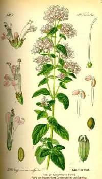 Image of Origanum vulgare