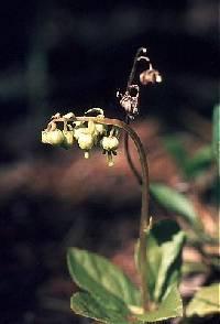 Image of Orthilia secunda