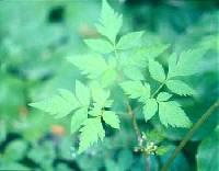 Image of Osmorhiza berteroi