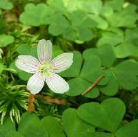 Oxalis acetosella subsp. montana image