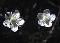 Image of Parnassia parviflora