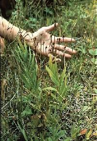 Parnassia parviflora image