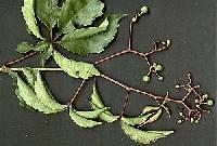 Image of Parthenocissus quinquefolia