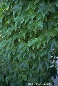 Image of Parthenocissus tricuspidata