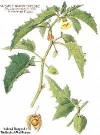 Image of Physalis virginiana