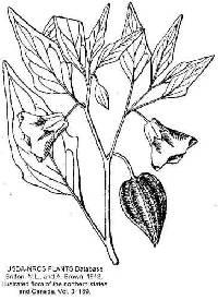 Physalis longifolia var. subglabrata image
