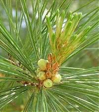 Image of Pinus strobus