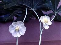 Image of Podophyllum peltatum