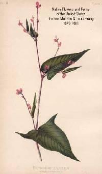 Image of Persicaria arifolia