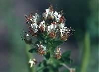 Polanisia dodecandra subsp. dodecandra image