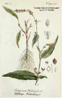 Image of Persicaria hydropiper
