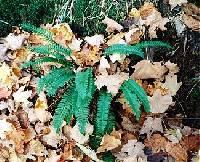 Image of Polystichum lonchitis