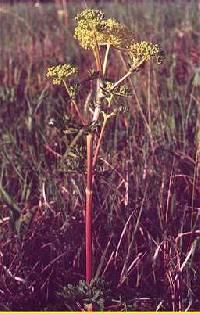 Image of Polytaenia nuttallii