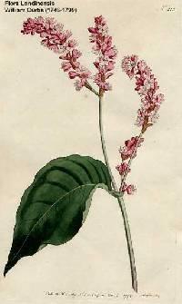 Image of Persicaria orientalis