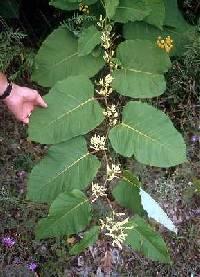 Image of Fallopia sachalinensis