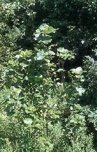 Image of Populus x jackii