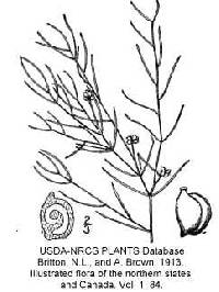 Image of Potamogeton pusillus