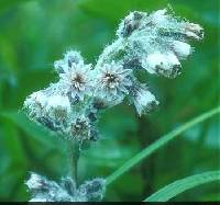 Prenanthes racemosa image