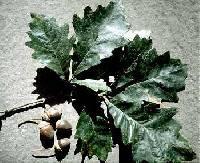 Image of Quercus bicolor