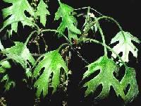 Image of Quercus velutina