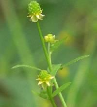 Image of Ranunculus abortivus