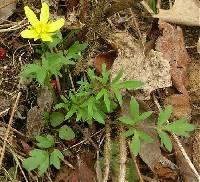 Image of Ranunculus fascicularis
