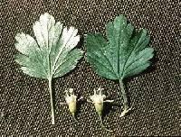 Ribes oxyacanthoides var. oxyacanthoides image