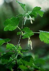 Image of Ribes missouriense