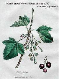 Image of Ribes nigrum