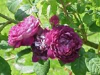 Image of Rosa gallica