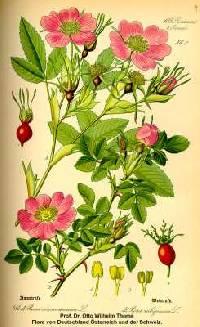 Image of Rosa majalis