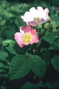 Image of Rosa setigera