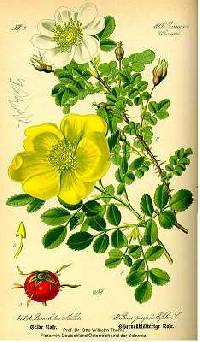 Image of Rosa spinosissima