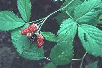 Image of Rubus allegheniensis