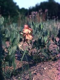 Image of Rumex venosus
