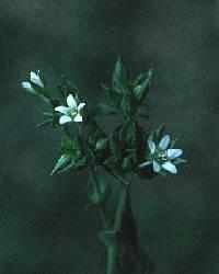 Image of Sagina procumbens