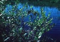Image of Salix lucida