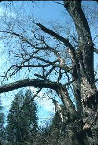 Image of Salix nigra