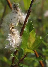 Image of Salix planifolia