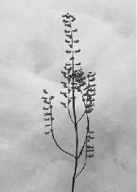 Image of Salvia reflexa