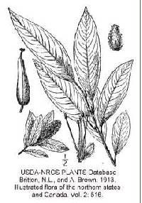 Image of Salix serissima