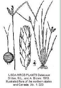 Image of Schoenoplectus hallii