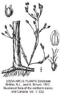 Image of Schoenoplectus heterochaetus