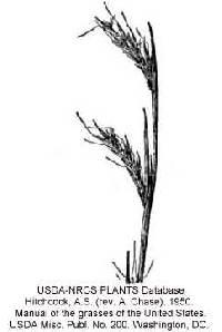 Image of Schizachyrium scoparium var. divergens