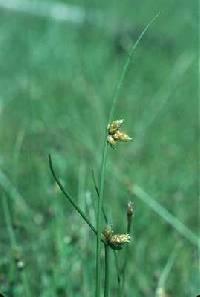 Image of Schoenoplectus smithii