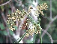 Image of Scirpus cyperinus