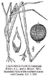 Image of Scleria reticularis
