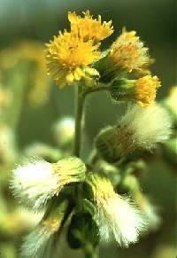 Image of Tephroseris palustris