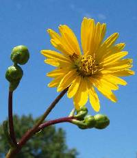 Image of Silphium terebinthinaceum var. terebinthinaceum
